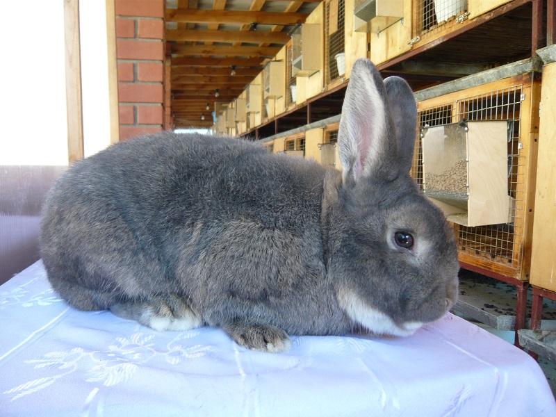 Венский серо-голубой кролик