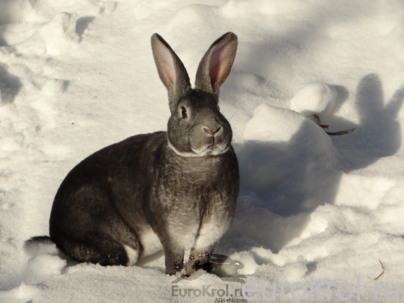 Кролик рекс шиншилловый