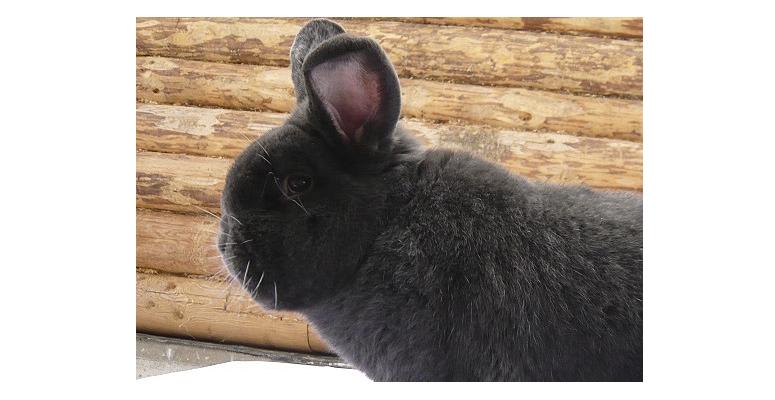 Венские голубые кролики