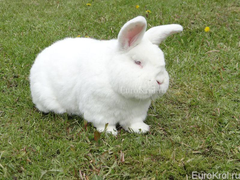 кролик нзб