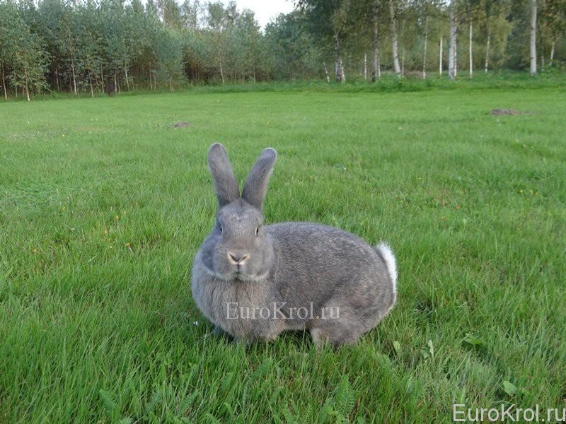 Кролик венский серо-голубой