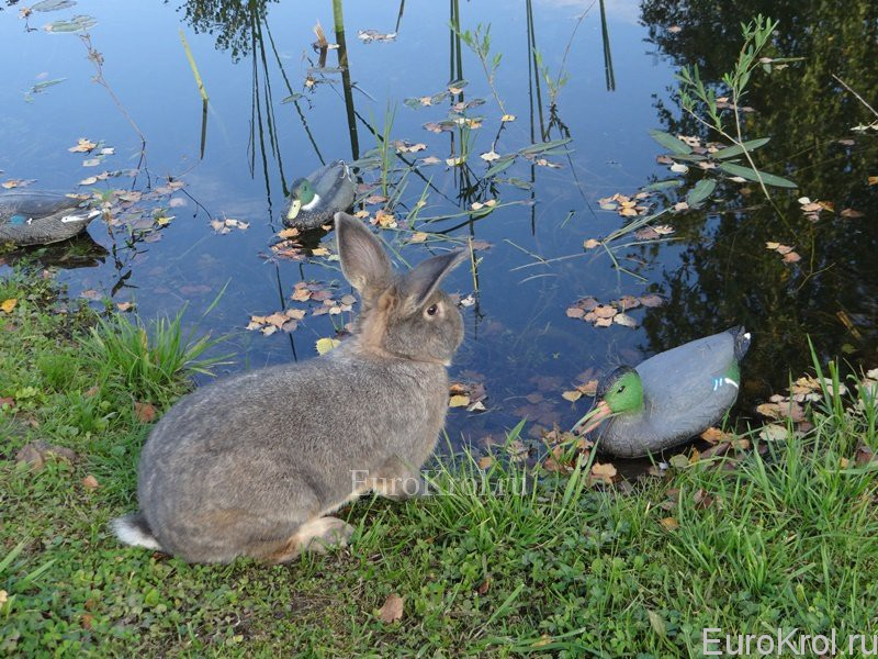 Венские серо-голубые кролики