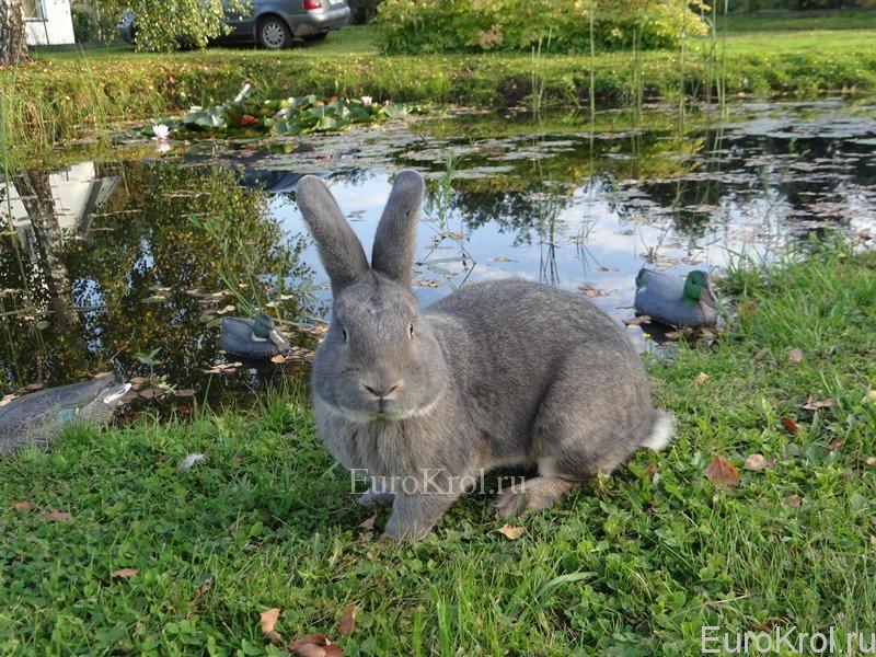 Венский серо-голубой на траве