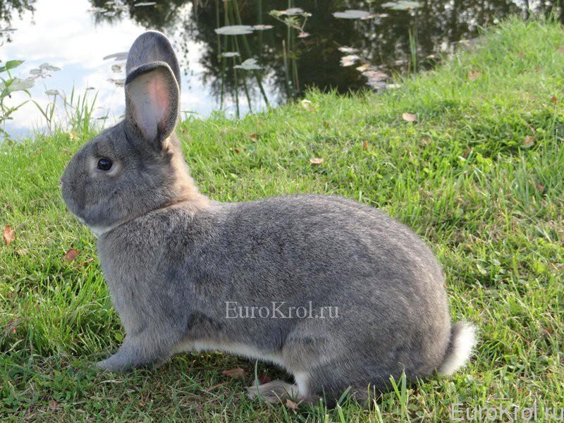 Венский серо-голубой кролик у воды