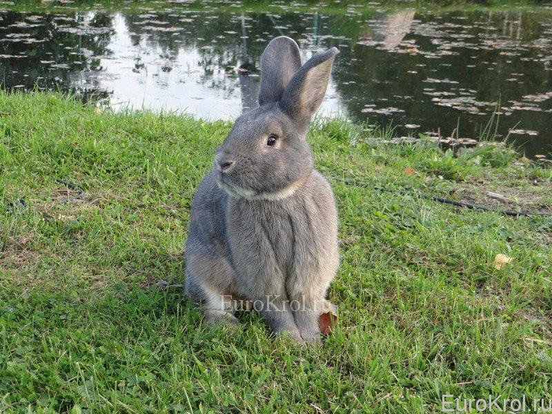 Венский серо-голубой кролик на озере