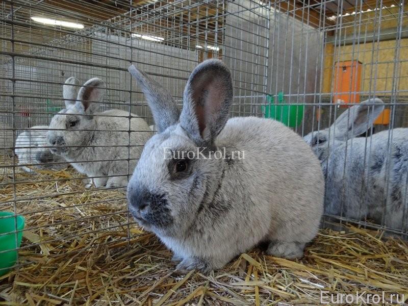 Большое светлое серебро кролик