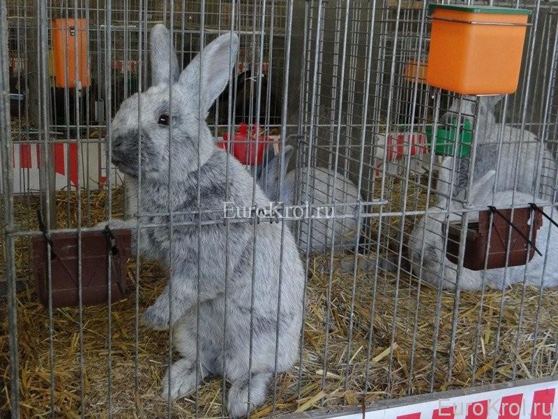 Большое светлое серебро порода кролика