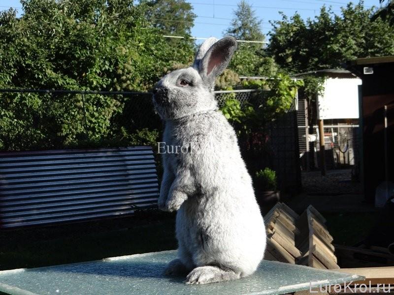 Большое светлое серебро окрас породы кролика