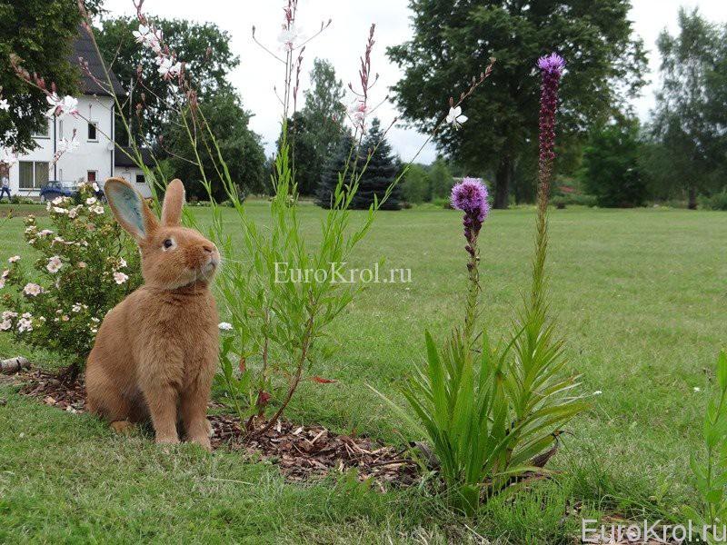 Бургундский кролик в цветах