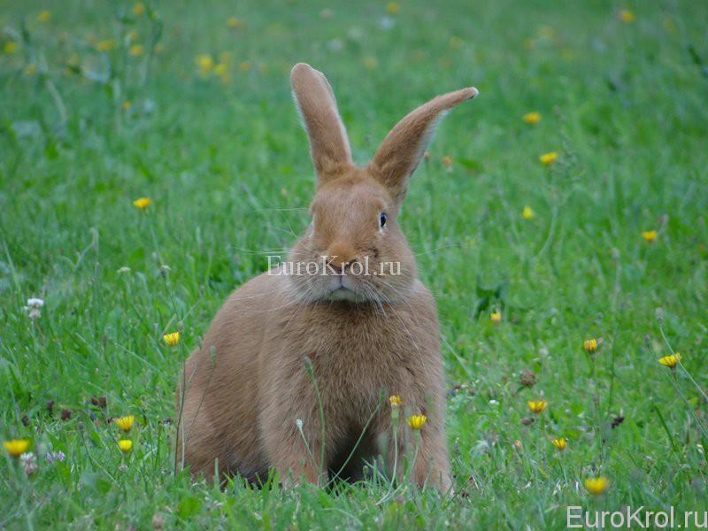 Бургундский кролик на зелёной траве