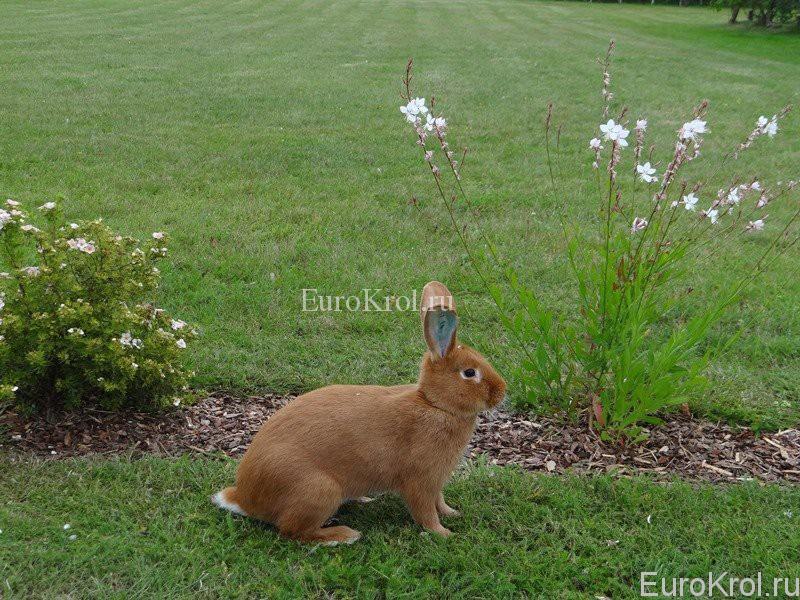 Бургундский кролик в Латвии