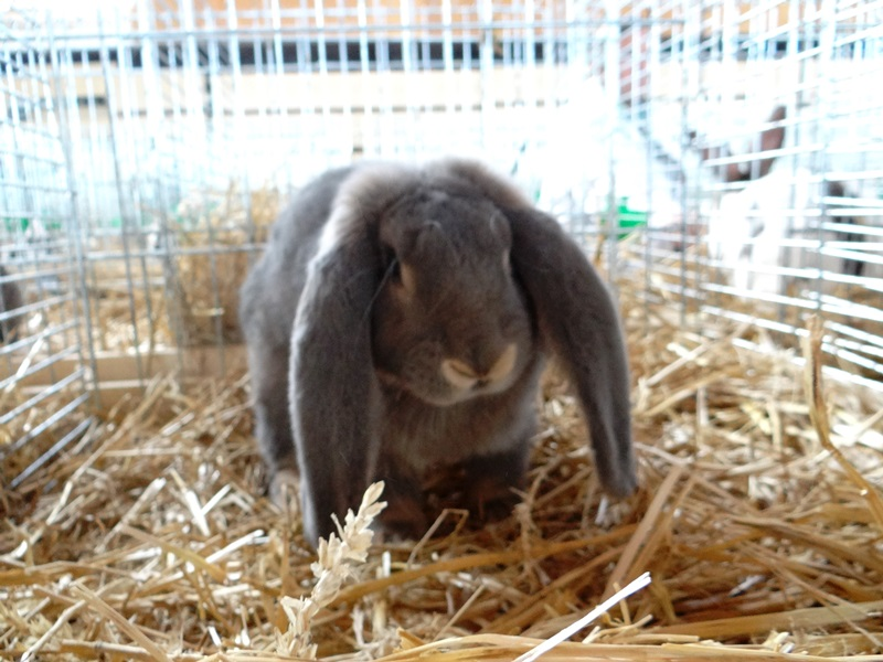 Кролик французский баран. Перловый