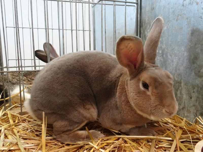 Кролик REX rus