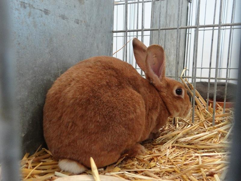 Кролик рекс рыжий серебристый