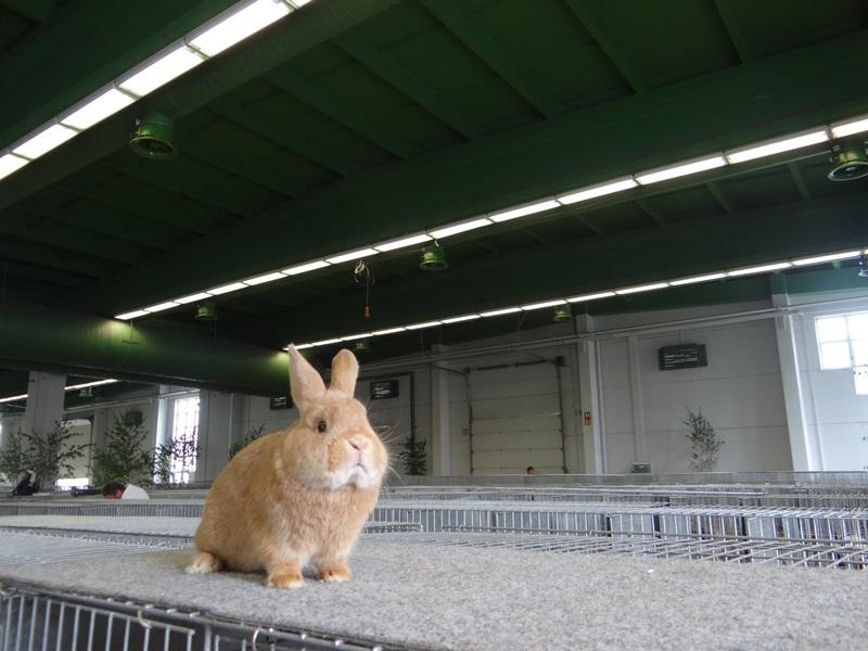 Малые породы кроликов. Серебристый рыжий - STRIBRITY MALY zluty