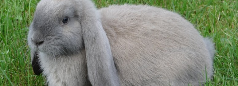 Кролик французский баран изабелла
