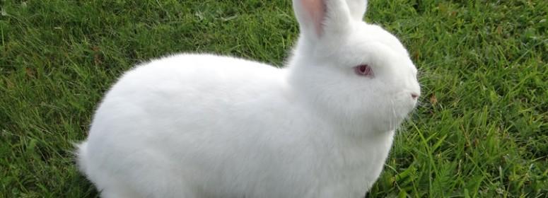 Новозеландский белый кролик НЗК