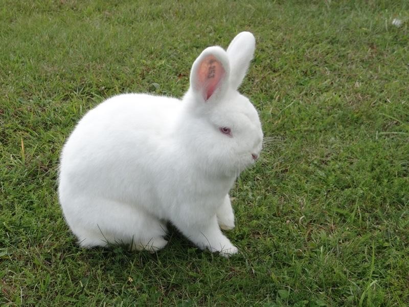 фото кролики белые