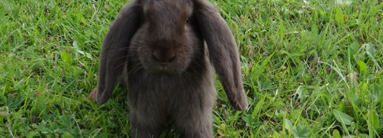 Кролик французский баран гавана