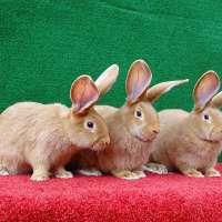 Бургундские кролики ЛПХ Моряк