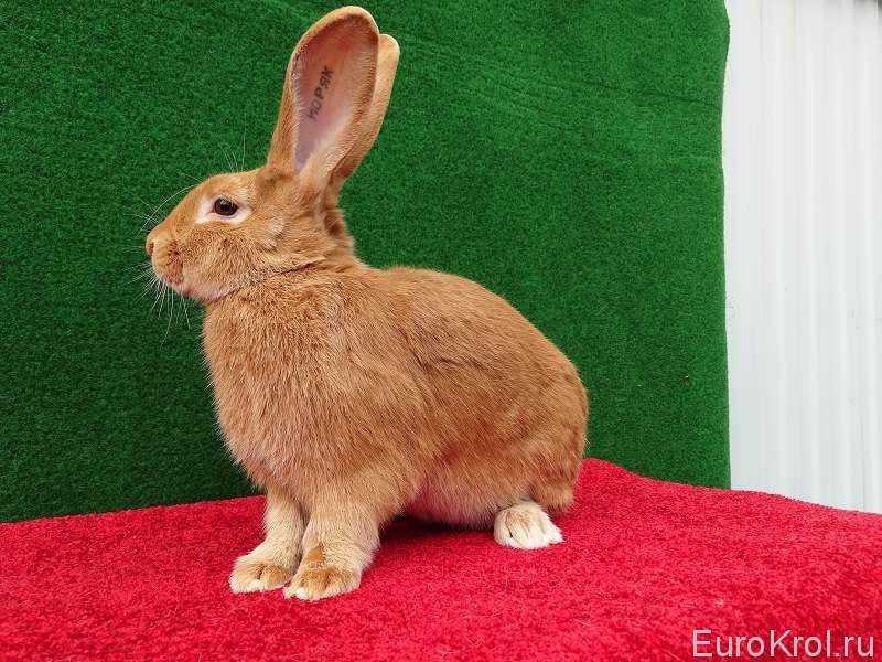 Кролик бургундский на ковре