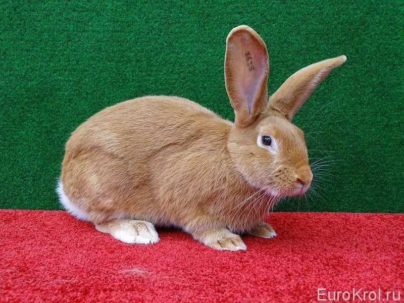 Кролик бургундский ЛПХ Моряк