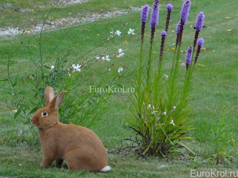 Бургундский кролик на траве