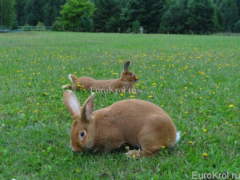 Два бургундских кролика