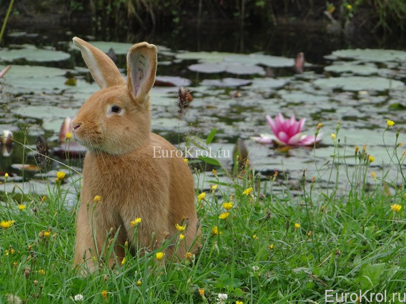 Кролик и кувшинка