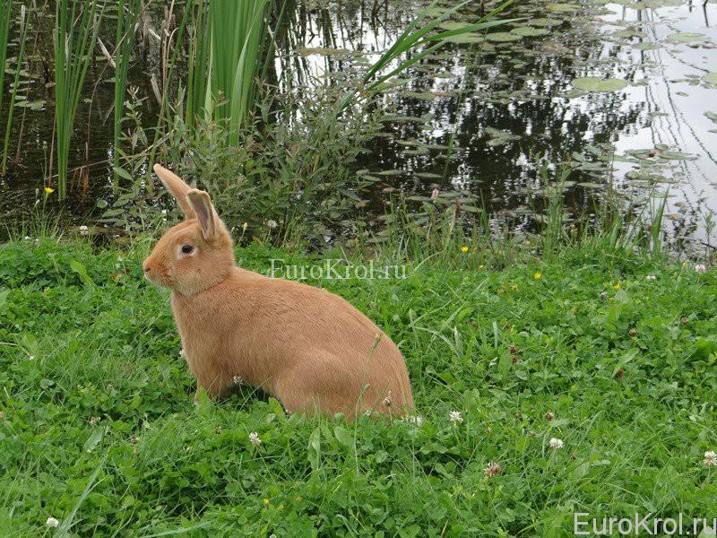 Кролик бургундский на озере