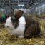 Голландский кролик агути