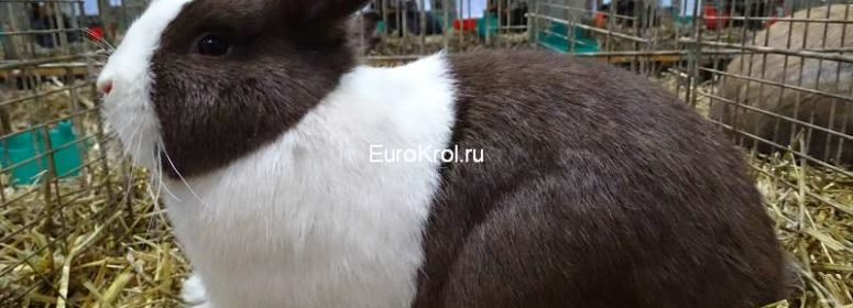 Голландский кролик гавана