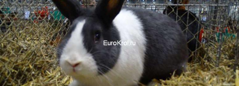 Голландский кролик голубой
