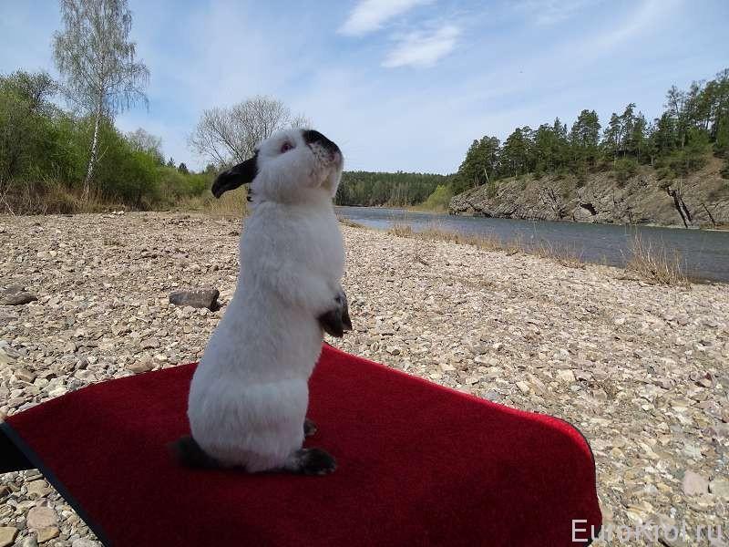 Калифорнийский кролик в стойке