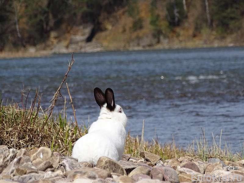 Калифорнийский кролик на речке