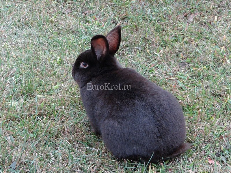 Коричневый сатиновый кролик