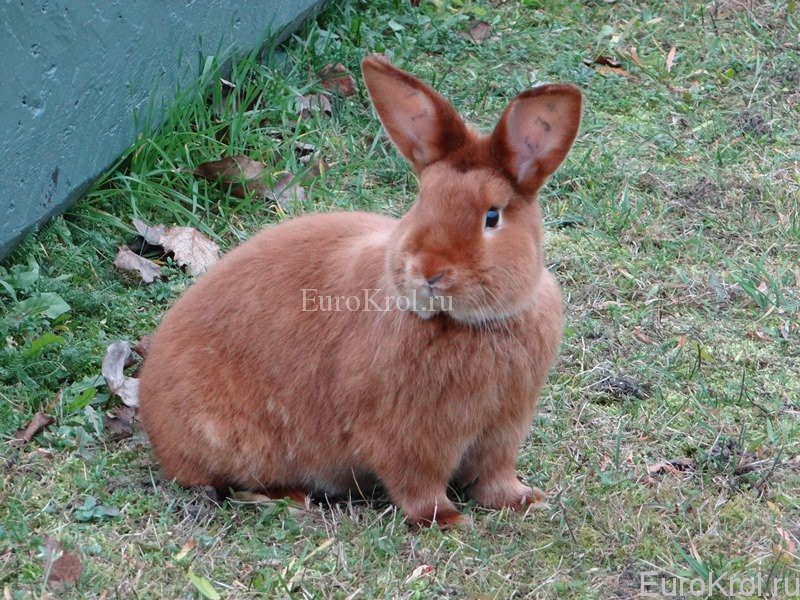 Красный сатиновый кролик из Европы
