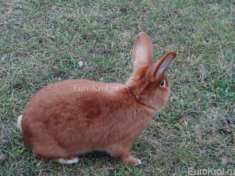 Кролики красные сатиновые
