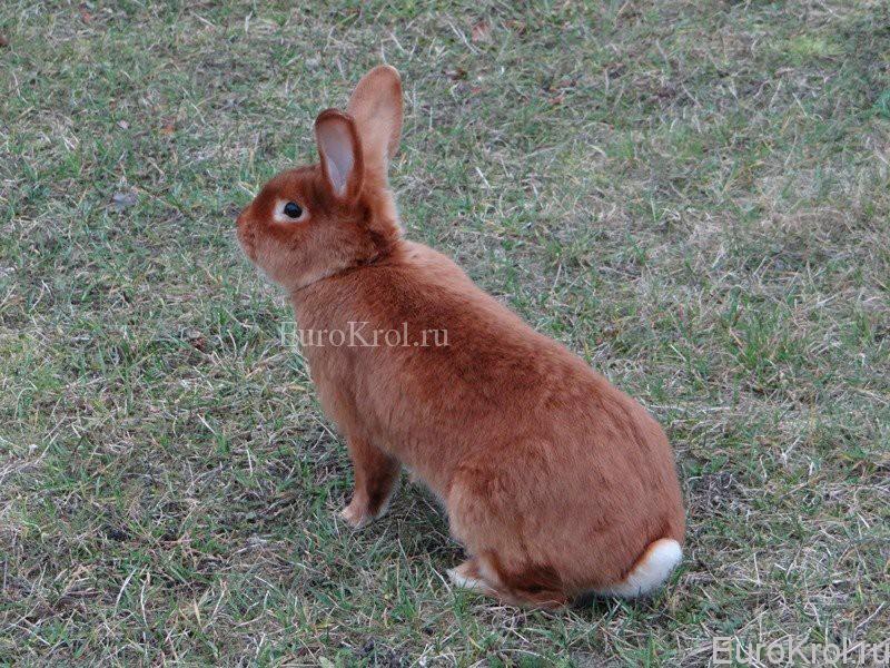 Кролик красный сатин