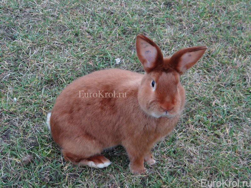 Кролик породы красный сатин