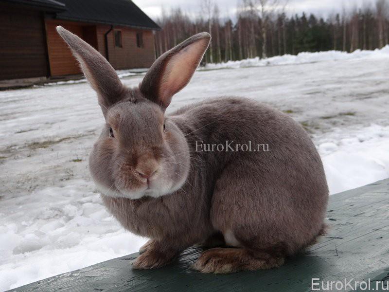 Кролик породы сатин окрас люкс