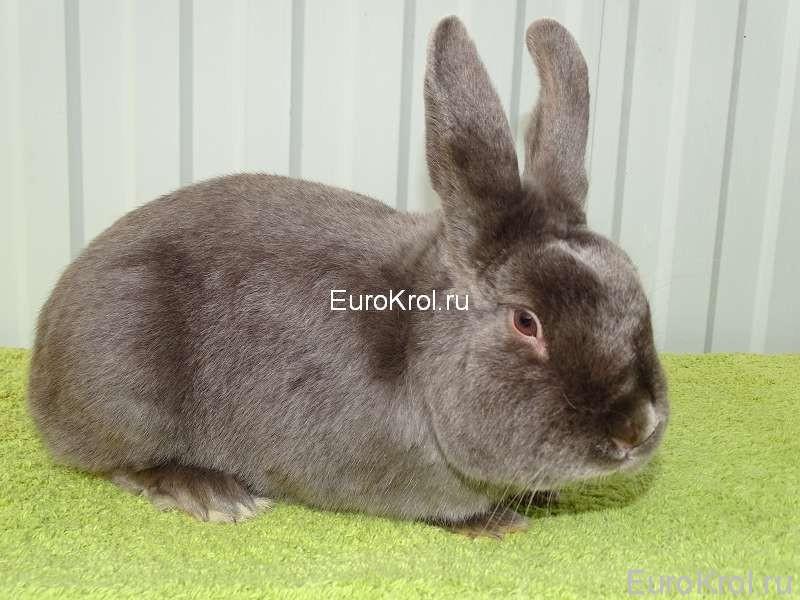 Кролик породы сатин Feh