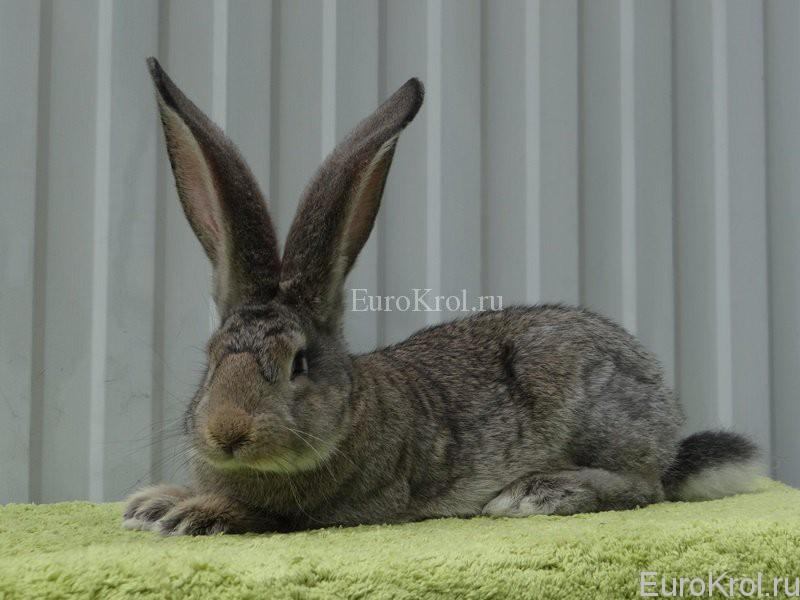 Кролик ризен агути
