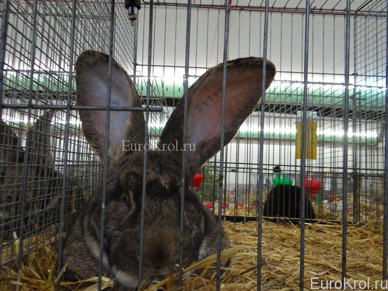 Кролик ризен на выставке в Германии