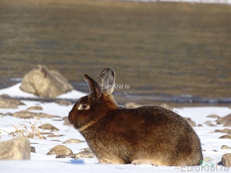Кролик сатиновый кастор на речке
