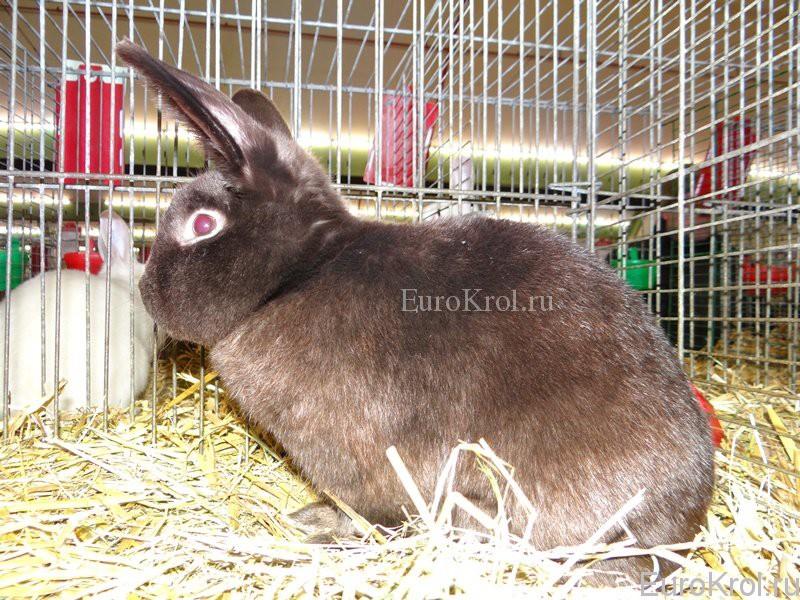 Кролик сатин гавана