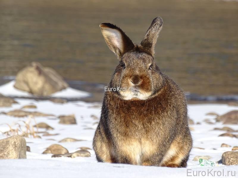 Кролик сатин кастор