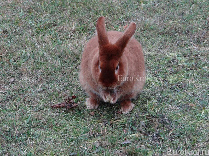 Кролик породы сатин красного окраса