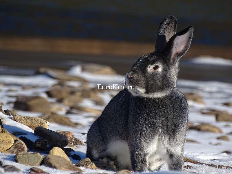 Кролик сатин, окрас шиншилловый