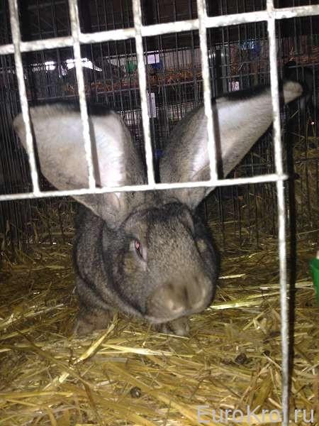 Кролик Marko Jozef